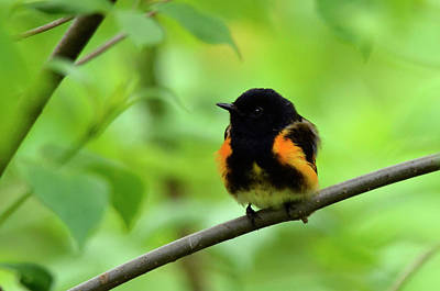 Photograph - American Redstart by Ann Bridges