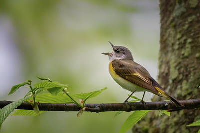 Photograph - American Redstart Female by Bill Wakeley