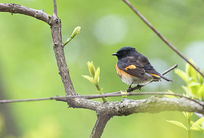 Photograph - American Redstart by Jim Zablotny