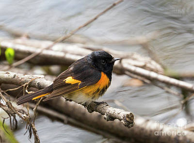Photograph - American Redstart Perched by Ricky L Jones