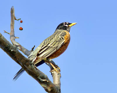 Red-breasted Robin Photograph - American Robin - 1 by Nikolyn McDonald