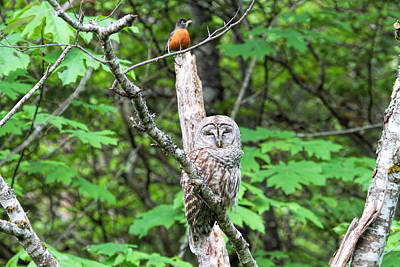 Photograph - American Robin And Barred Owl by Peggy Collins