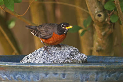 Red-breasted Robin Photograph - American Robin At The Bath by Sharon Talson