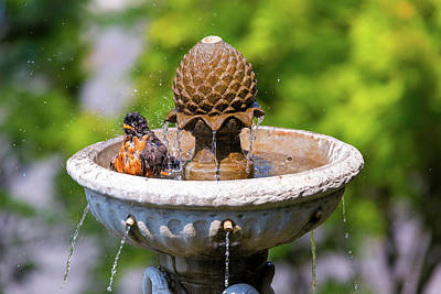 Wall Art - Photograph - American Robin Bathing In Garden Water Fountain by David Gn