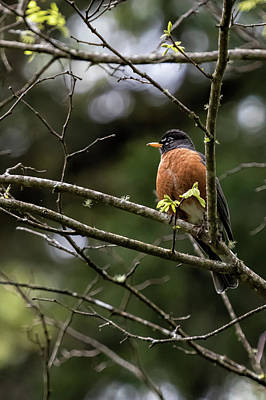 Photograph - American Robin by Belinda Greb