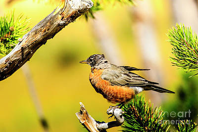 Photograph - American Robin by Ben Graham