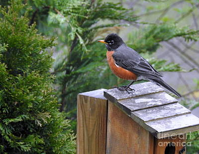 Photograph - American Robin by Brenda Bostic
