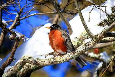 Photograph - American Robin by Carol Montoya