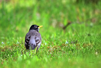Photograph - American Robin  by Christina Rollo