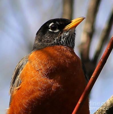 Photograph - American Robin Closeup by Sue Harper