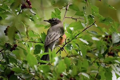 Photograph - American Robin by Debra Martz