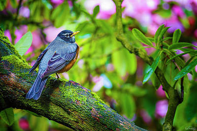 Photograph - American Robin by Dee Browning