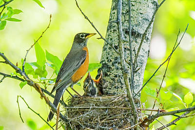 Photograph - American Robin Feeding Chicks by Gary Beeler