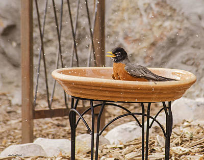Photograph - American Robin Finishing His Bath by Allen Sheffield
