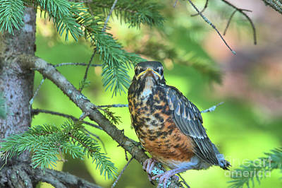 Photograph - American Robin Fledgling by Debbie Stahre