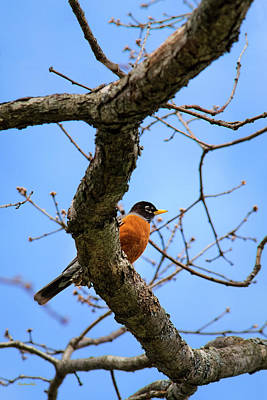 Red-breasted Robin Photograph - American Robin In A Tree by Christina Rollo