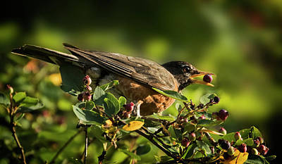 Photograph - American Robin by Inge Riis McDonald