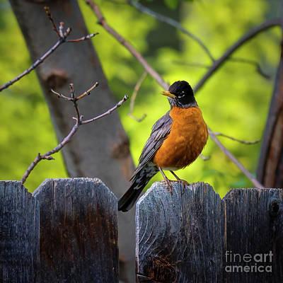 Photograph - American Robin by Jon Burch Photography