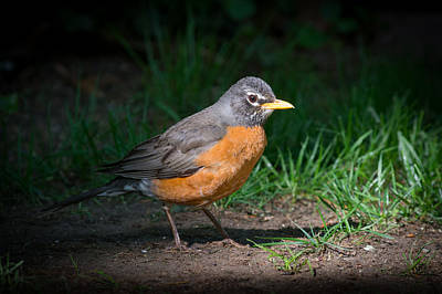 Photograph - American Robin by Kenneth Cole