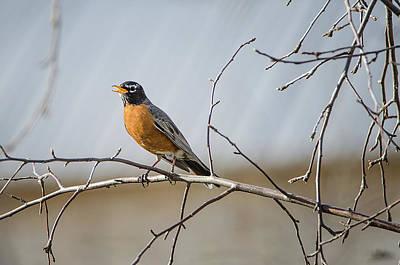 Photograph - American Robin by Susan McMenamin