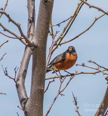 Photograph - American Robin by Tony Baca
