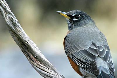 Photograph - American Robin, Tule Lake Nwr, California by Robert Mutch