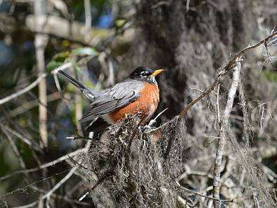 Photograph - American Robin - Turdus Migratorius by rd Erickson