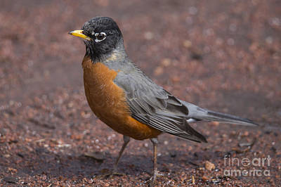 American Robin Photograph - American Robin by Twenty Two North Photography
