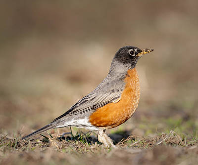 Photograph - American Robin by Tyson Smith