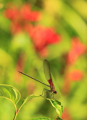 Photograph - American Rubyspot Damselfly And Cardinal Flowers by John Burk