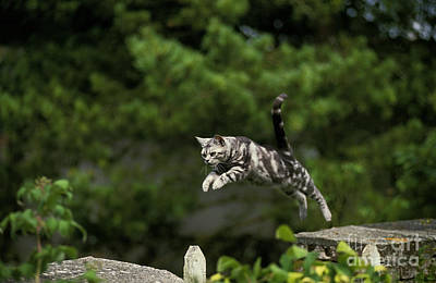 American Shorthair Photograph - American Shorthair, Leaping by Gerard Lacz