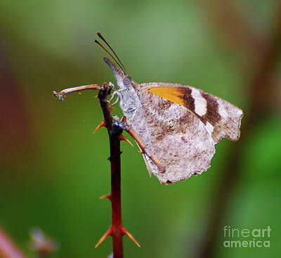 Photograph - American Snout Butterfly by Kerri Farley