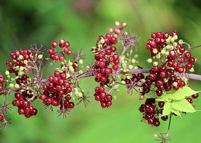 Photograph - American Spikenard by David Pickett