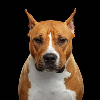 Photograph - American Staffordshire Terrier by Sergey Taran