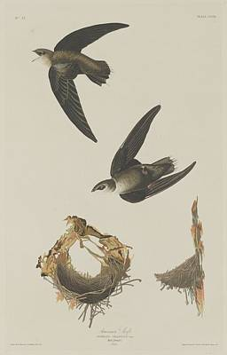 Wings Drawing - American Swift by Dreyer Wildlife Print Collections