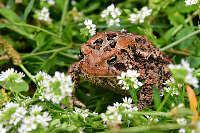Photograph - American Toad 5628 by Michael Peychich