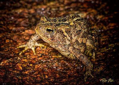Photograph - American Toad by Rikk Flohr