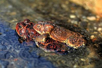 Photograph - American Toads In Love by Carol Montoya
