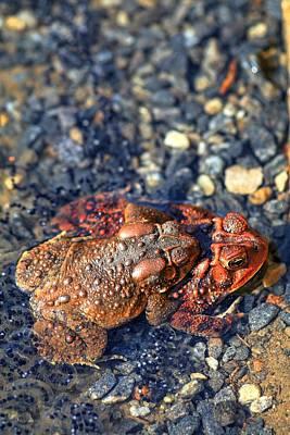 Photograph - American Toads In Love II by Carol Montoya