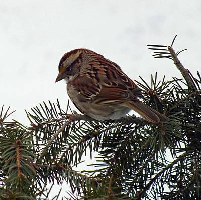 American Tree Sparrow Art Print by Cindy Treger
