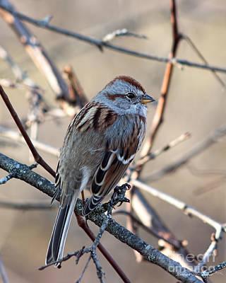 Photograph - American Tree Sparrow Profile by Barbara McMahon
