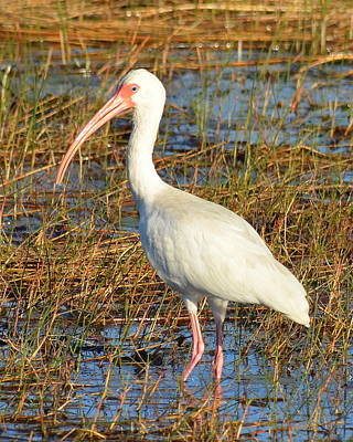Photograph - American White Ibis  by Carla Parris