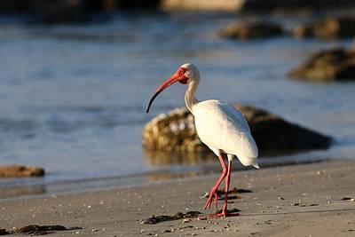 Photograph - American White Ibis by Carol Montoya