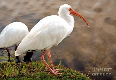 Photograph - American White Ibis by Elaine Manley