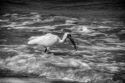 American White Ibis Photograph - American White Ibis In Black And White by Chrystal Mimbs
