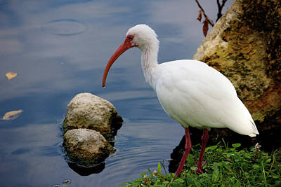 Photograph - American White Ibis by Jim Gillen