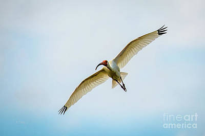Photograph - American White Ibis by Rene Triay Photography