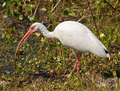 American White Ibis Photograph - American White Ibis With Captured Frog by Louise Heusinkveld