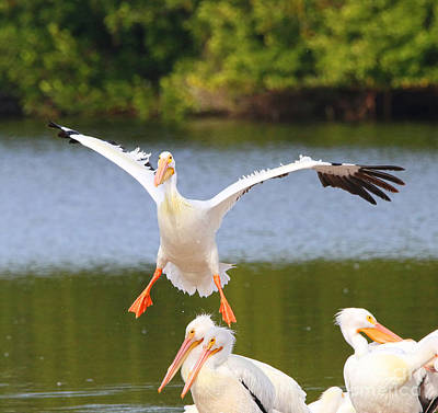 New Years - American White Pelican  1058 by Jack Schultz