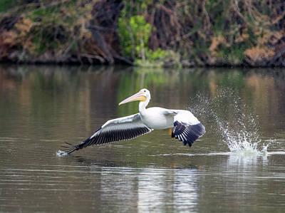 Photograph - American White Pelican 1760-031118-1cr by Tam Ryan